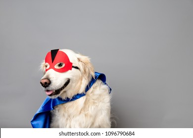 White golden retriever with a red hero mask and blue cape against a grey seamless background
