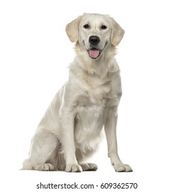 White Golden Retriever sitting, 19 months old , isolated on white