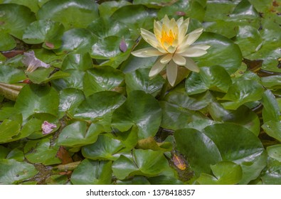 White and Golden Yellow Lily Flower.  Ivory white lily surrounded  by healthy green lily pads.