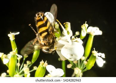 White Goldenrod crab spider has caught a hoverfly