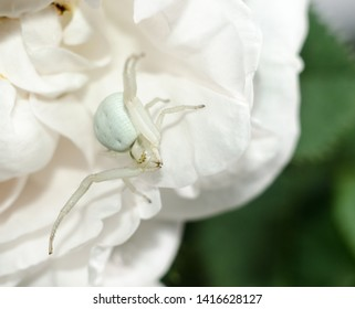 White Goldenrod crab spider mimicking color of rose petals. MAcro shot of White spider on the flower.