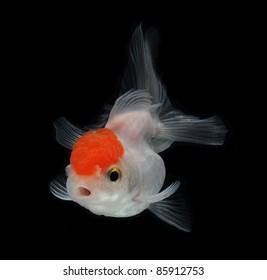 white goldfish on black background