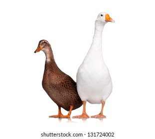 White goose and duck on white background