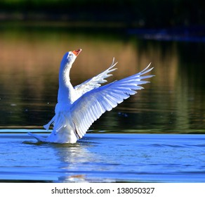 A white Goose flapping its wings on a lake.