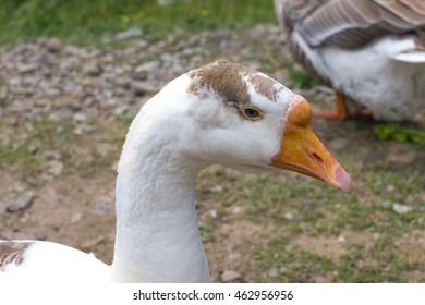 white goose  head  portrait closeup