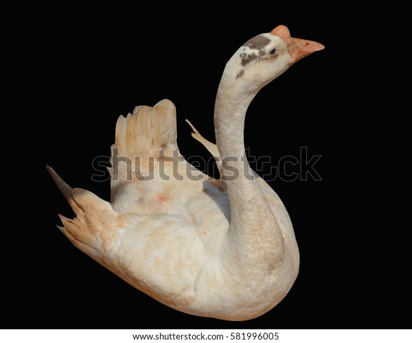 White goose isolated on a black background