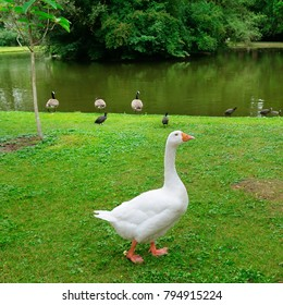 White goose on a green lawn. There is a lake in the distance.