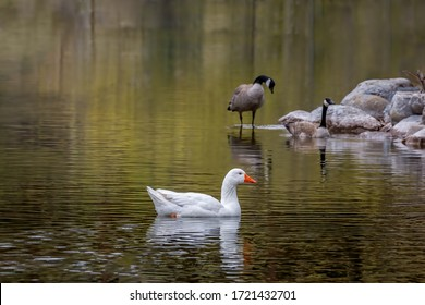 white goose swimming in a colorful pond with Canadian geese in background, Kalispell Montana