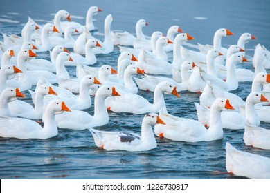 White goose. Swimming Geese. Domestic geese swim in the pond. Flock of geese on the river