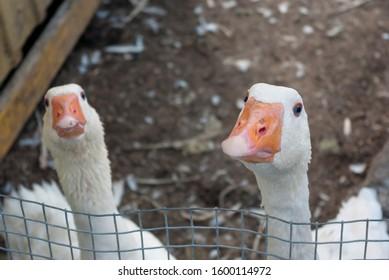 white gooses in enclosure brown yard looking funny