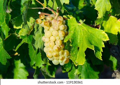 White grape from AOC Maury, south of France