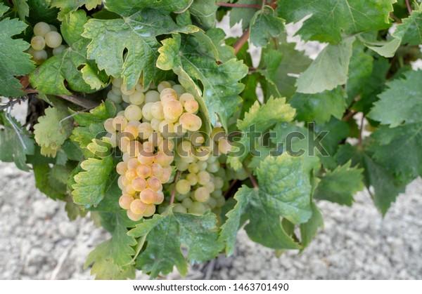 White grape harvest to make wine in the area of Jerez de la Frontera and Sanlucar de Barrameda, Spain