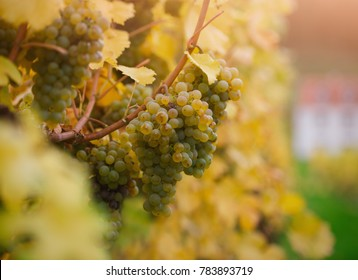 White grape leaved for making of Ice wine on Wachau valley, Austria
