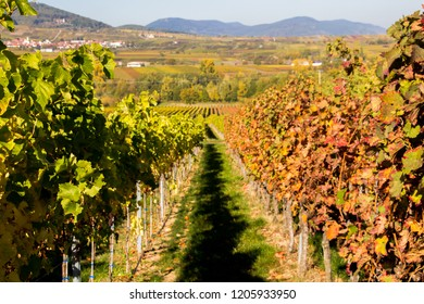 White grape vineyard on the left, red grape vineyard on the right. The color of the autumn leafes show the type of the grape wineyard. Scenic view on forest hills. Selective focus