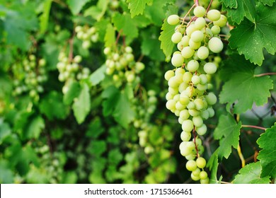 white grapes close up on the background of a vineyard.copy space