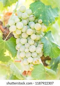White grapes growing in a vineyard in Alentejo region, Portugal.