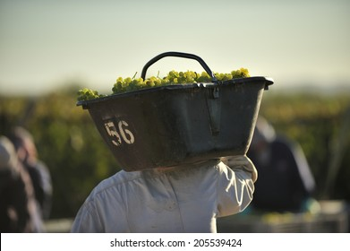 white grapes harvested for wine at vineyard