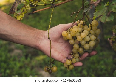 White grapes in male hand