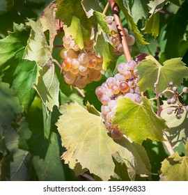 White grapes on the vineyard. Riesling - a wine grape variety to produce the classic white wines and champagne.