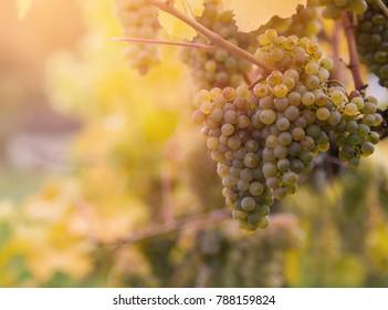 White grapes on Wachau vineyards, Austria