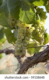 White grapes from Penedes