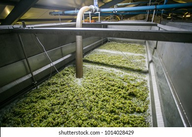 White grapes in the strainer to strain of all the juice before the grape skins can be pressed
