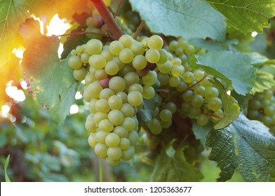 White grapes in vineyard.