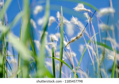 white grass flower call Cogongrass (Imperata cylindrica) under bright sunny day and blue sky background
