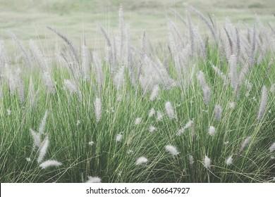 White Grass Flower In The Field