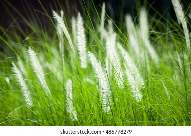White grass flower  while windy in the green meadow.