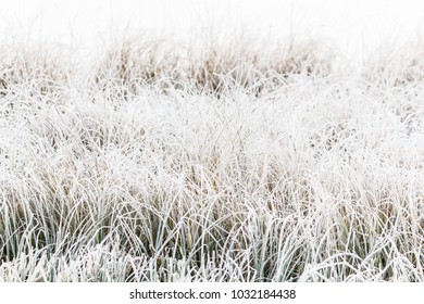 White the grasses in frost. Cold on the shore of the lake or river in the early morning.