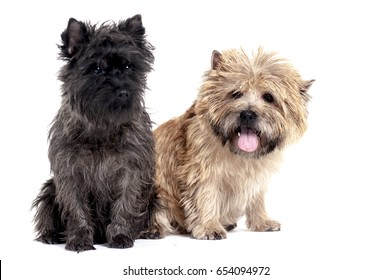 White and gray Border Terrier puppies isolated on white in the studio