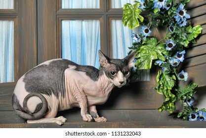 white with gray cat sphinx on the windowsill