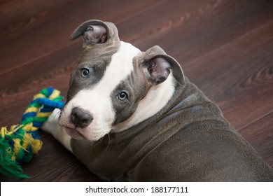 White and gray color Pitbull puppy lying on dark wooden floor with colorful toy. Blue nose staffordshire