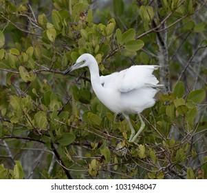 White and gray juvenile little blue heron perched in a green leafy tree