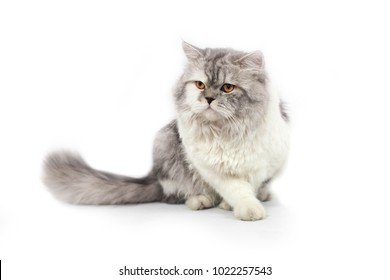 white and gray persian cat