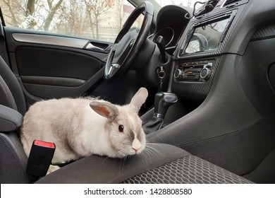 White gray rabbit in the car. Climbs on the passenger seat