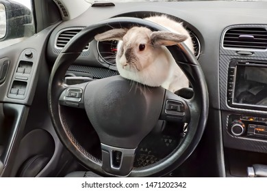 White gray rabbit in the car. Peeps from behind the wheel of a car