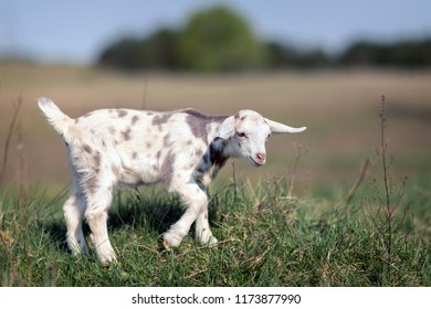 White gray spotted goatling grazing in the meadow