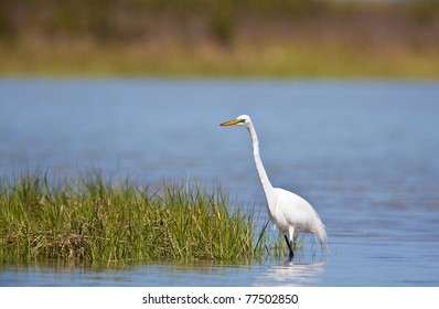 White great egret found in southern Florida