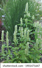 White and green korean mint (Agastache rugosa) Alabaster blooms in a garden in August