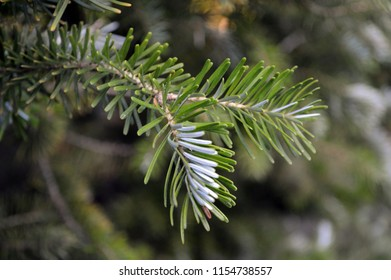 white green leaves of the twig-fir (Abies koreana)