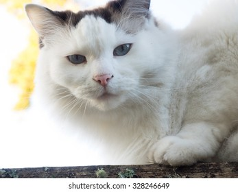 White and grey cat sitting on top of fence, looking down.  Cat has pink nose, white face, grey ears.  Cat is domestic short hair feline
