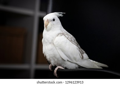 white and grey cockatiel on black background standing om the edge of a chair