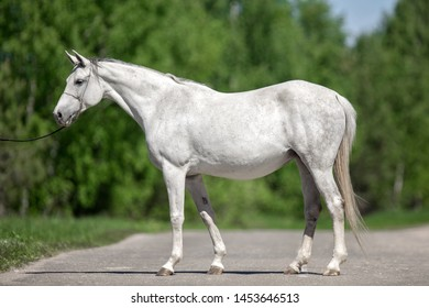 white grey horse stands sideways on the road in the summer  - conformation, exterior