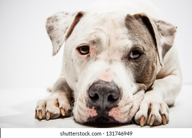 White and Grey Pitbull laying down with head between paws