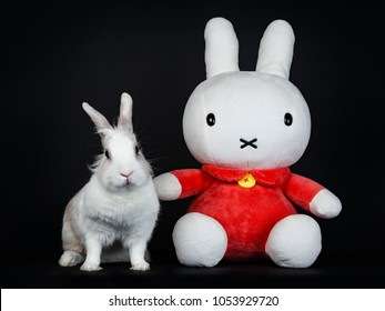 White with grey rabbit facing front posing with Nijntje isolated on black background looking looking to the camera