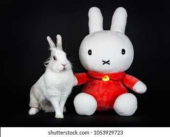 White with grey rabbit posing with Nijntje isolated on black background looking looking to the camera
