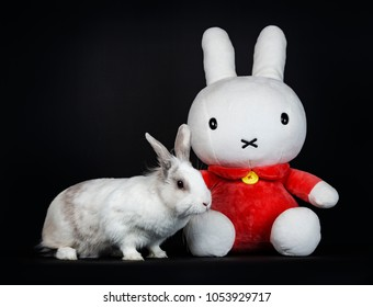 White with grey rabbit posing side ways  with Nijntje isolated on black background  looking to the camera