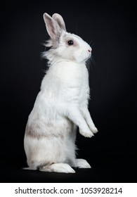 White with grey rabbit sitting side ways on back paws isolated on black background looking side ways